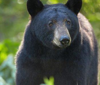 Black Bear Information